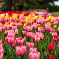 Skagit Valley Tulip Festival April 2018